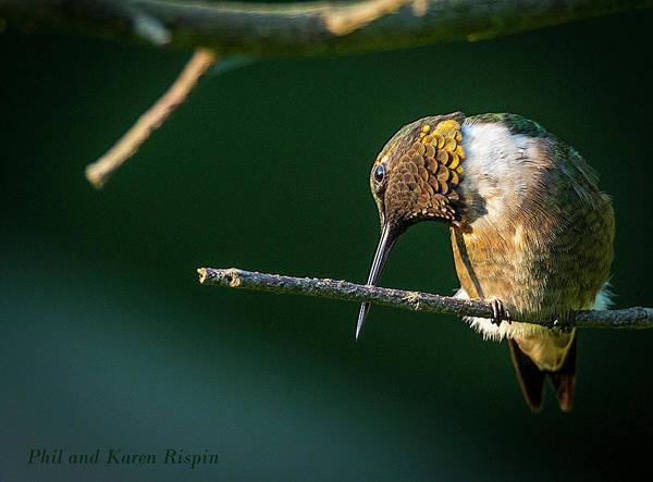Photograph - Male Hummingbird Preening by Philip Rispin