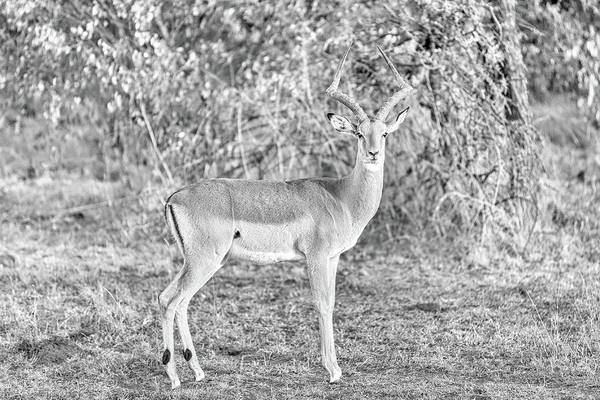 Wall Art - Photograph - Male Impala Antelope by Paul Fell