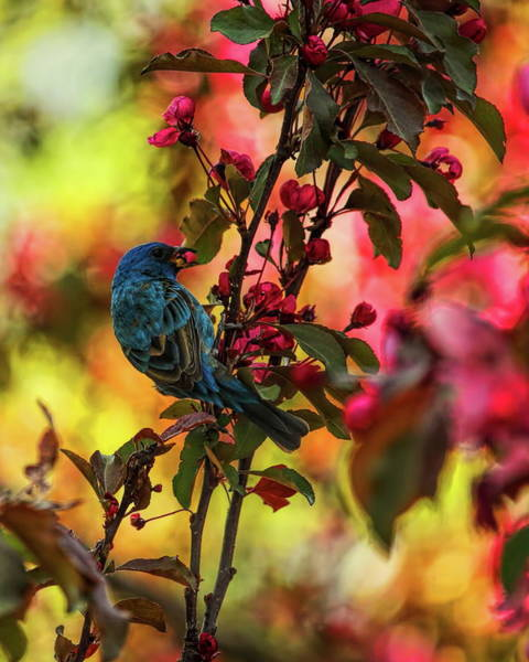 Photograph - Male Indigo Bunting Eating Blossoms by Dale Kauzlaric