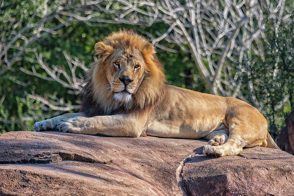 Photograph - Male Lion by Jim Vallee