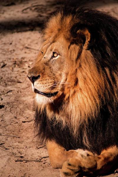 Photograph - Male Lion Profile by Don Johnson