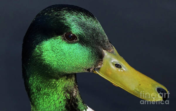Photograph - Male Mallard Duck Anas Platyrhynchos Portrait  by Sue Harper