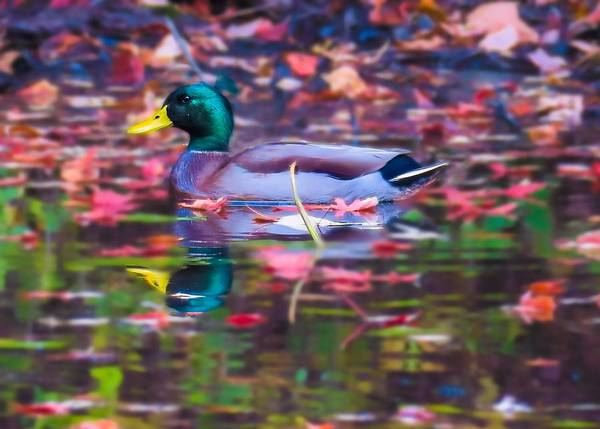 Digital Art - Male Mallard Floating Among The Autumn Leaves by Rusty R Smith