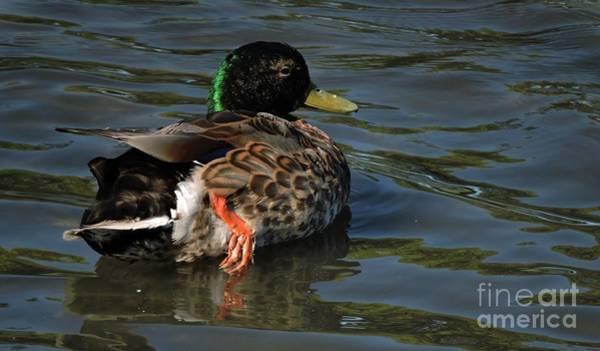 Duck Meat Photograph - Male Mallard by Marcia Lee Jones