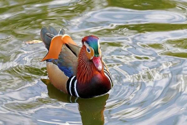 Nfs Photograph - Male Mandarin Duck by Daniel Caracappa