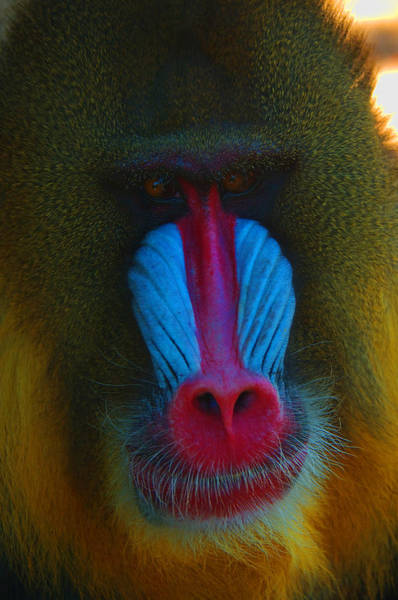 Photograph - Male Mandrill by Richard Henne