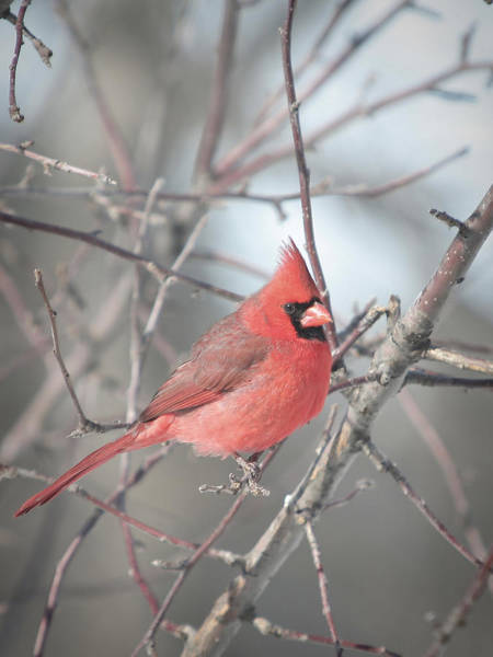 Wall Art - Photograph - Male Northern Cardinal Poses For Valentine by Laurie With