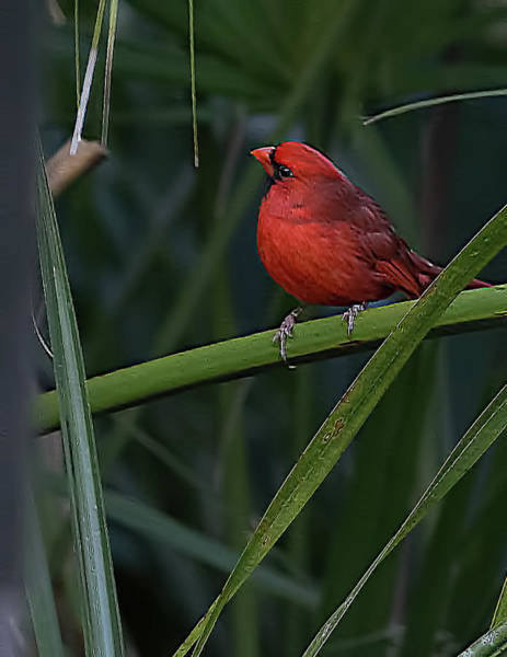 Photograph - Male Northern Cardinal by Richard Goldman