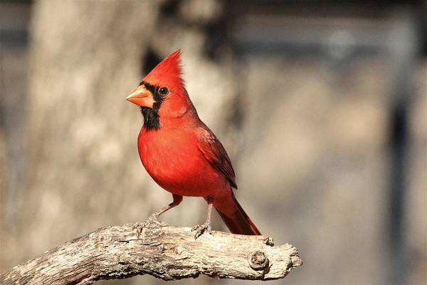 Photograph - Male Northern Cardinal  by Sheila Brown