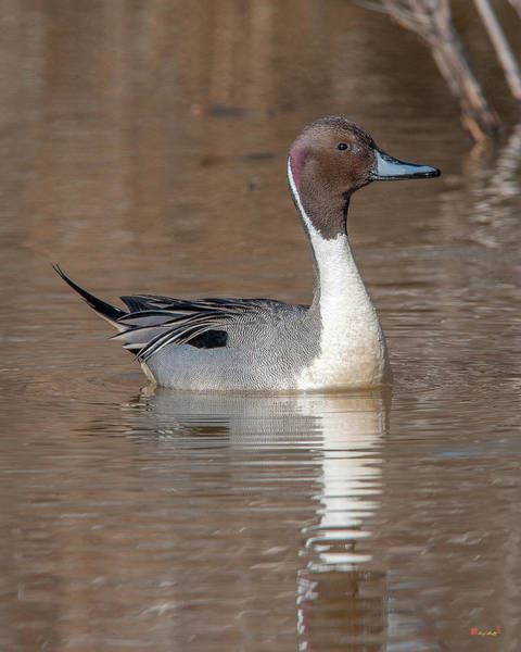 Photograph - Male Northern Pintail Dwf0149 by Gerry Gantt