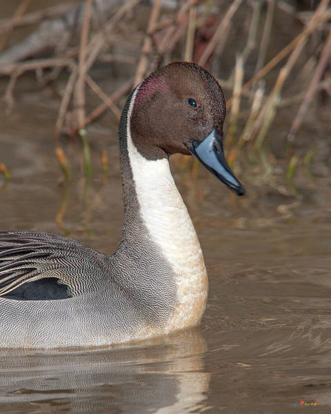Photograph - Male Northern Pintail Dwf0151 by Gerry Gantt
