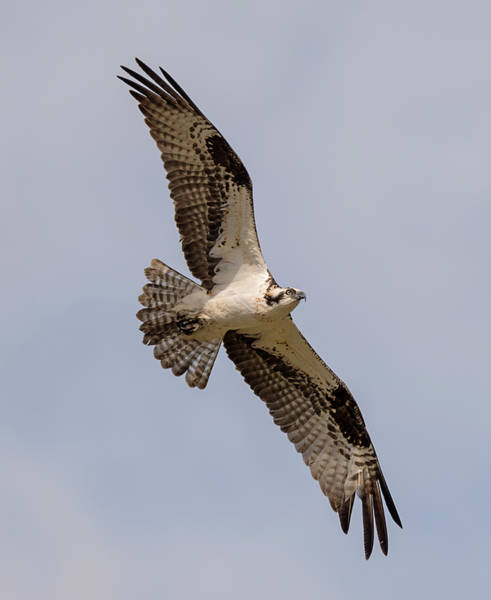 Photograph - Male Osprey In Flight by Loree Johnson