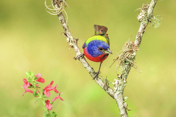 Photograph - Male Painted Bunting #2 by Tom and Pat Cory