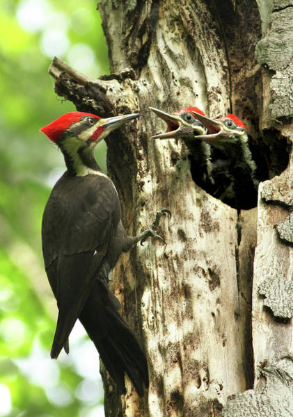 Hungry Photograph - Male Pileated Woodpecker At Nest by Mircea Costina Photography