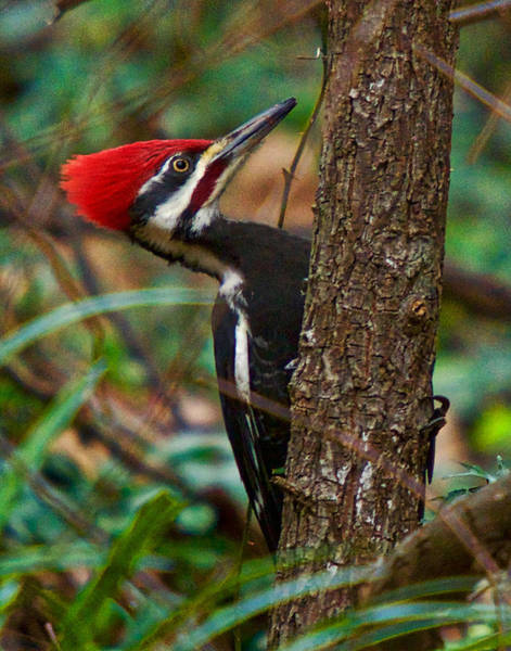 Photograph - Male Pileated Woodpecker by Robert L Jackson