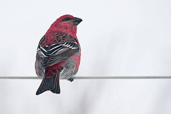 Fowl Photograph - Male Pine Grosbeak by Maggie Terlecki