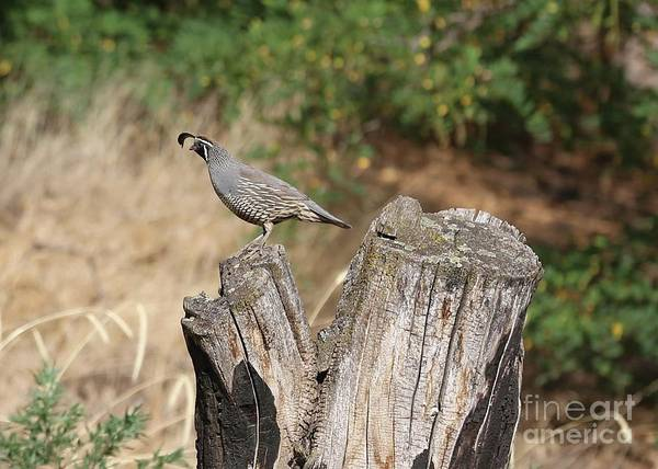 Wall Art - Photograph - Male Quail On Stump by Carol Groenen