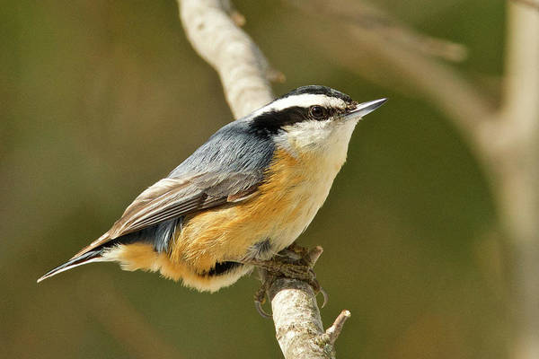 Wall Art - Photograph - Male Red Breasted Nuthatch 2151 by Michael Peychich