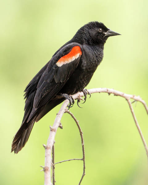 Red-winged Blackbird Wall Art - Photograph - Male Red-winged Blackbird by Jim Hughes