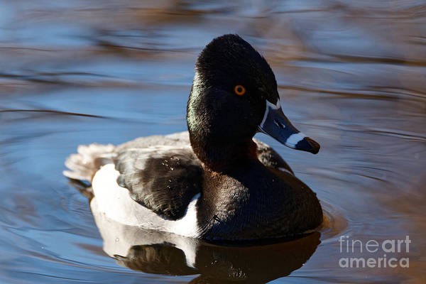 Photograph - Male Ring-necked Duck by Sue Harper