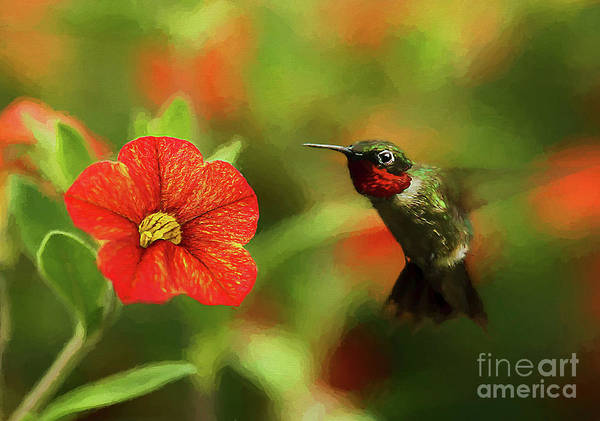 Wall Art - Photograph - Male Ruby And A Petunia Bloom by Darren Fisher