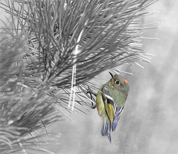 Bird Watcher Photograph - Male Ruby-crowned Kinglet by Donna Kennedy