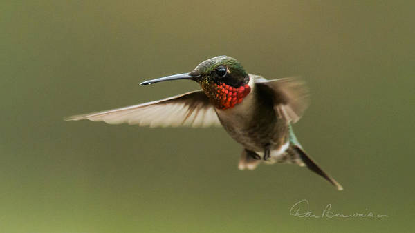 Photograph - Male Ruby-throated Hummingbird 6794 by Dan Beauvais