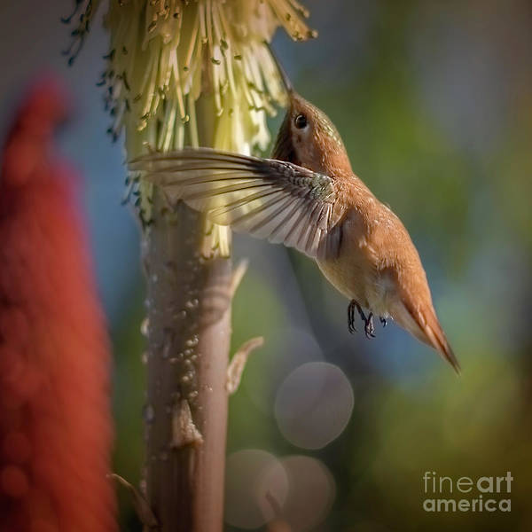 Bokah Photograph - Male Rufous At The Red Hot Poker by Marci Potts