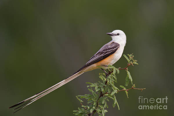 Photograph - Male Scissor-tail Flycatcher Tyrannus Forficatus Wild Texas by Dave Welling
