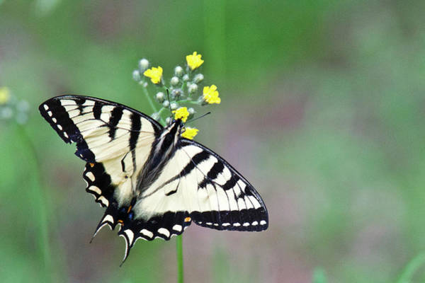 Wall Art - Photograph - Male Tiger Swallowtail 4088 by Michael Peychich