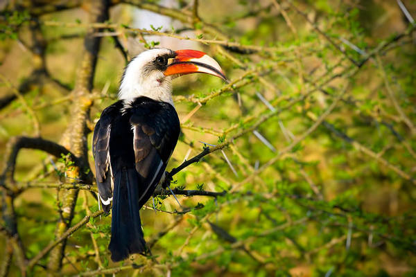 Photograph - Male Von Der Decken's Hornbill by Adam Romanowicz