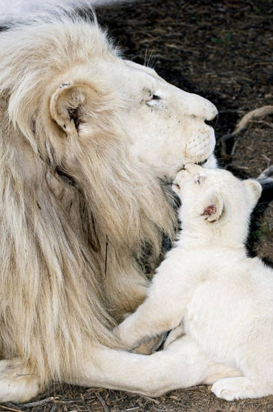 Wall Art - Photograph - Male White Lion And Cub by Tony Camacho