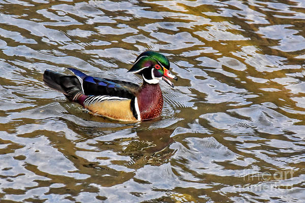 Photograph - Male Wood Duck by Cynthia Staley