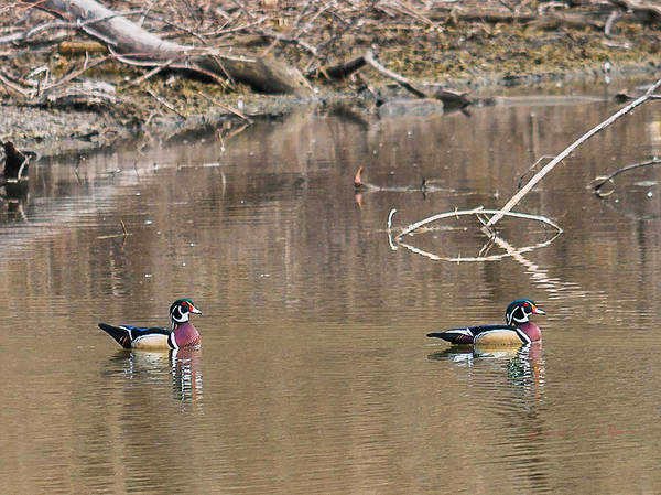 Photograph - Male Wood Ducks by Edward Peterson