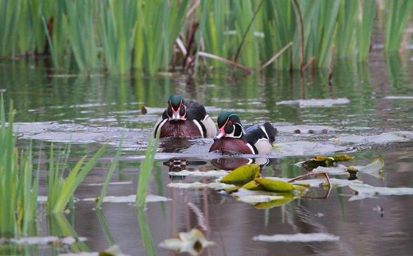 Wall Art - Photograph - Male Wood Ducks In The Marsh by Dan Sproul
