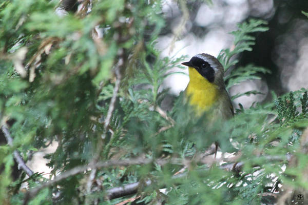 Photograph - Male Yellowthroat Warbler by John Meader