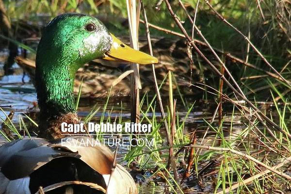 Photograph - Mallard 6337 by Captain Debbie Ritter