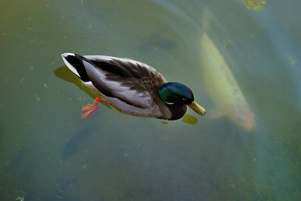 Photograph - Mallard And Carp by Ron Cline