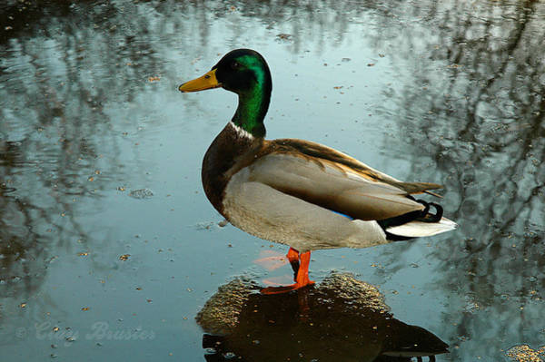 Photograph - Mallard by Clayton Bruster