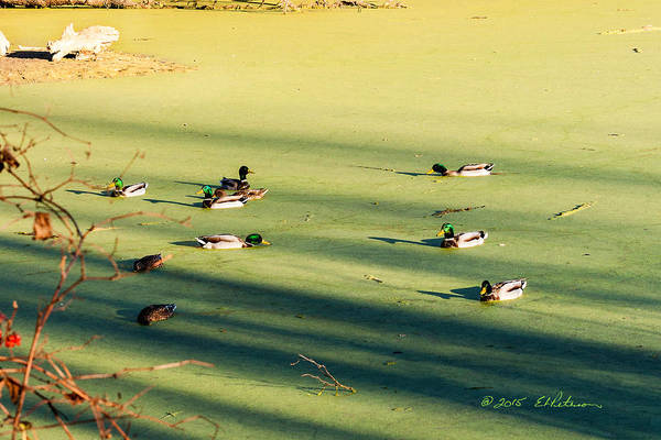 Photograph - Mallard Drakes by Edward Peterson