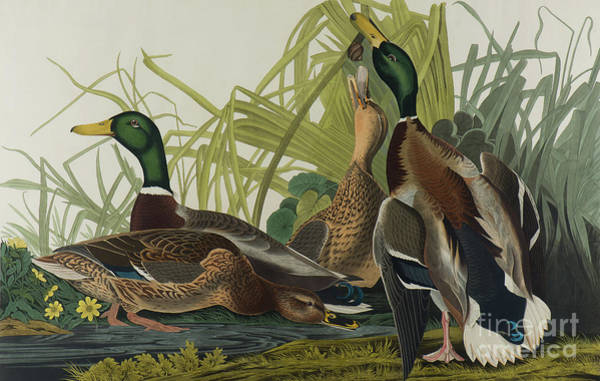 Painting - Mallard Duck, 1834  by John James Audubon