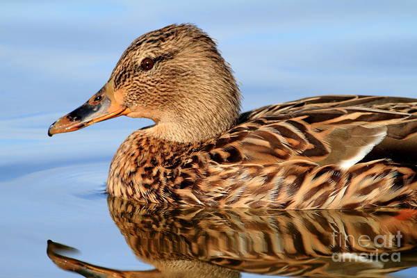 Photograph - Mallard Duck . 7d4947 by Wingsdomain Art and Photography