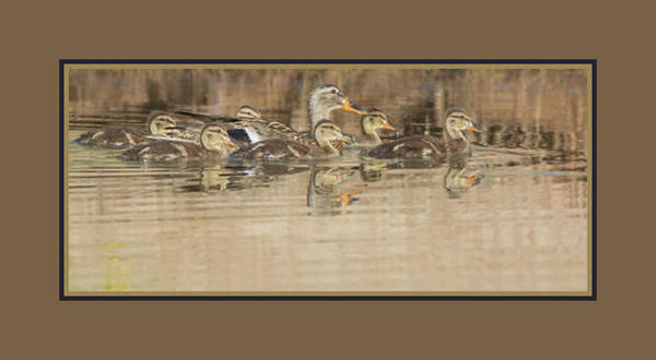 Photograph - Mallard Duck Adult And Chicks 1078-051518-1cr-matte by Tam Ryan