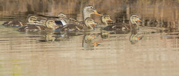 Photograph - Mallard Duck Adult And Chicks 1078-051518-1cr by Tam Ryan