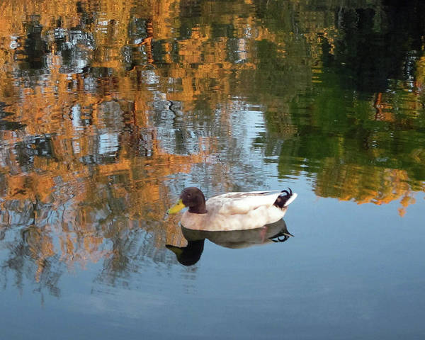 Photograph - Mallard Duck Floating On Autumn Pond by Julia L Wright