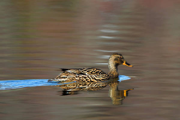 Photograph - Mallard Duck Hen by Bill Wakeley