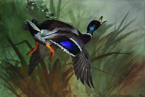 Wall Art - Mixed Media - Mallard Duck In Flight By Thorburn by Archibald Thorburn