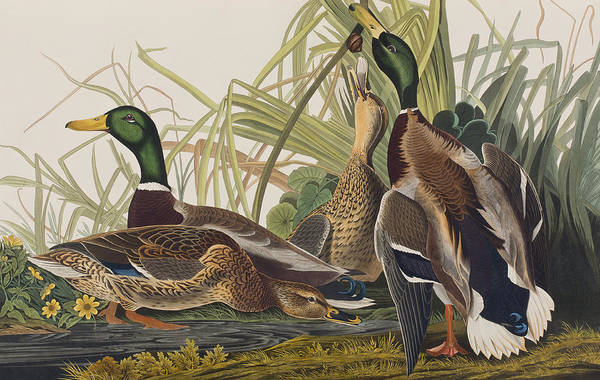Ornithological Wall Art - Painting - Mallard Duck by John James Audubon