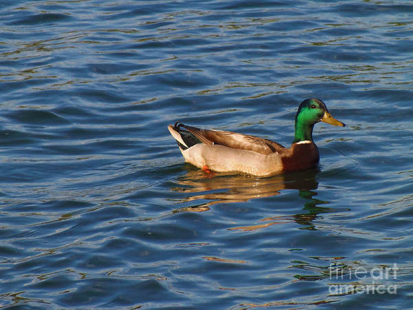 Photograph - Mallard Drake Duck Swimming by Lita Kelley