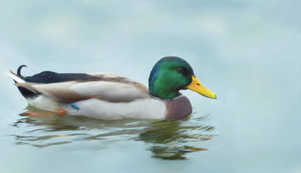 Painting - Mallard Duck On The Water by Garvin Hunter